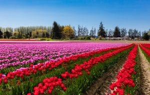Tulip field with blue sky in Skagit Valley Washington